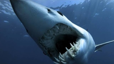 Shortfin Mako Shark on Shark Week